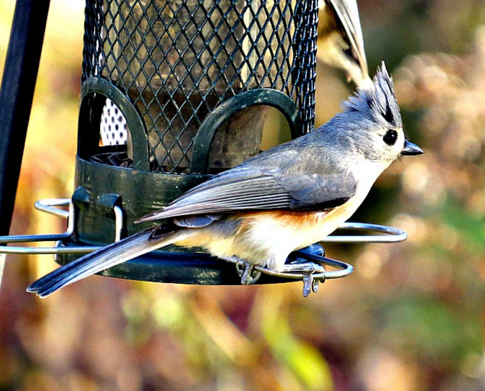 No reason for the tufted titmouse to fly south. They can deal with winter, especially when Joy Page keeps her feeder full with suet.