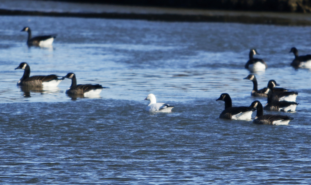 The Ross's goose that has joined Canada geese in the Fore River in Westbrook is only the seventh ever recorded in Maine. The species' migration patterns typically keep it farther west.