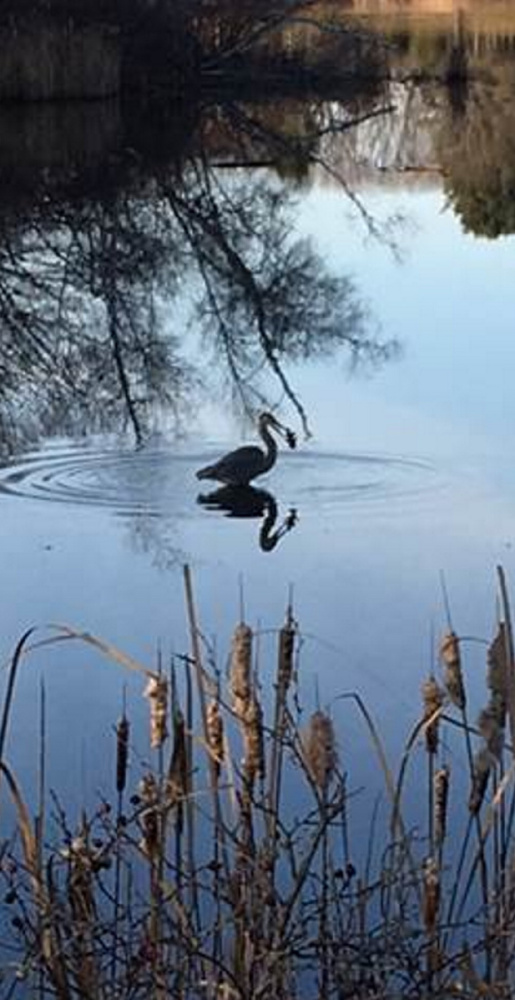 The blue heron fishing in a tidal pond on Scarborough's Eastern Trail only looks like it's caught a fish. It's really a leaf, says resident Nancy Rose. Better luck next time, wader.