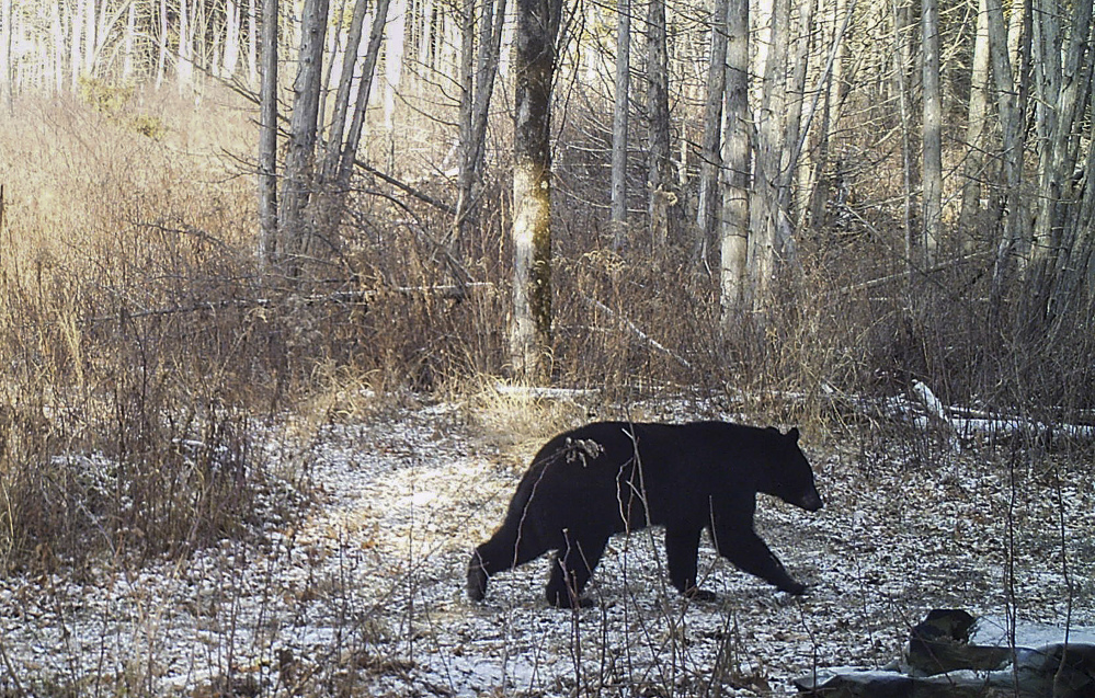 The lack of snow is contributing to delayed hibernation for some black bears and making snowshoe hares conspicuous to predators. Access to food is keeping some out of their winter dens and has prompted officials in Vermont and Massachusetts to urge residents to wait for snow before putting up bird feeders to avoid attracting bears.