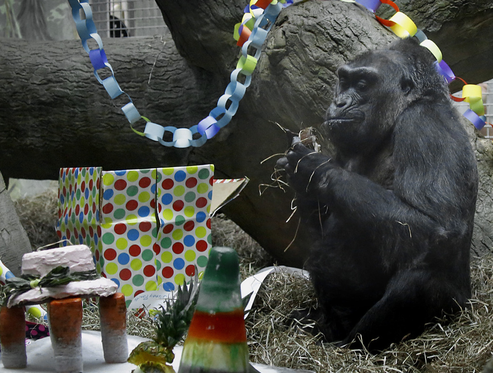 A gorilla called Colo sits amid toys and a cake Tuesday at the Columbus Zoo in Ohio.