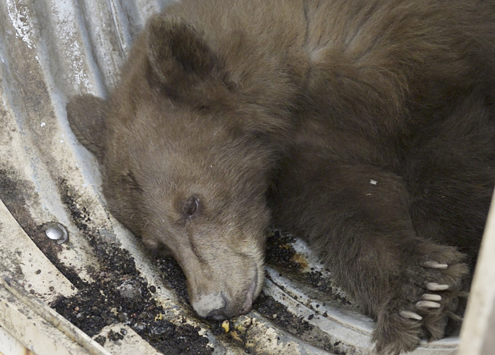 The black bear crawled inside a trash compactor and took the ride of its life on a garbage truck, traveling about 65 miles to a dump in central California where it briefly ran free.