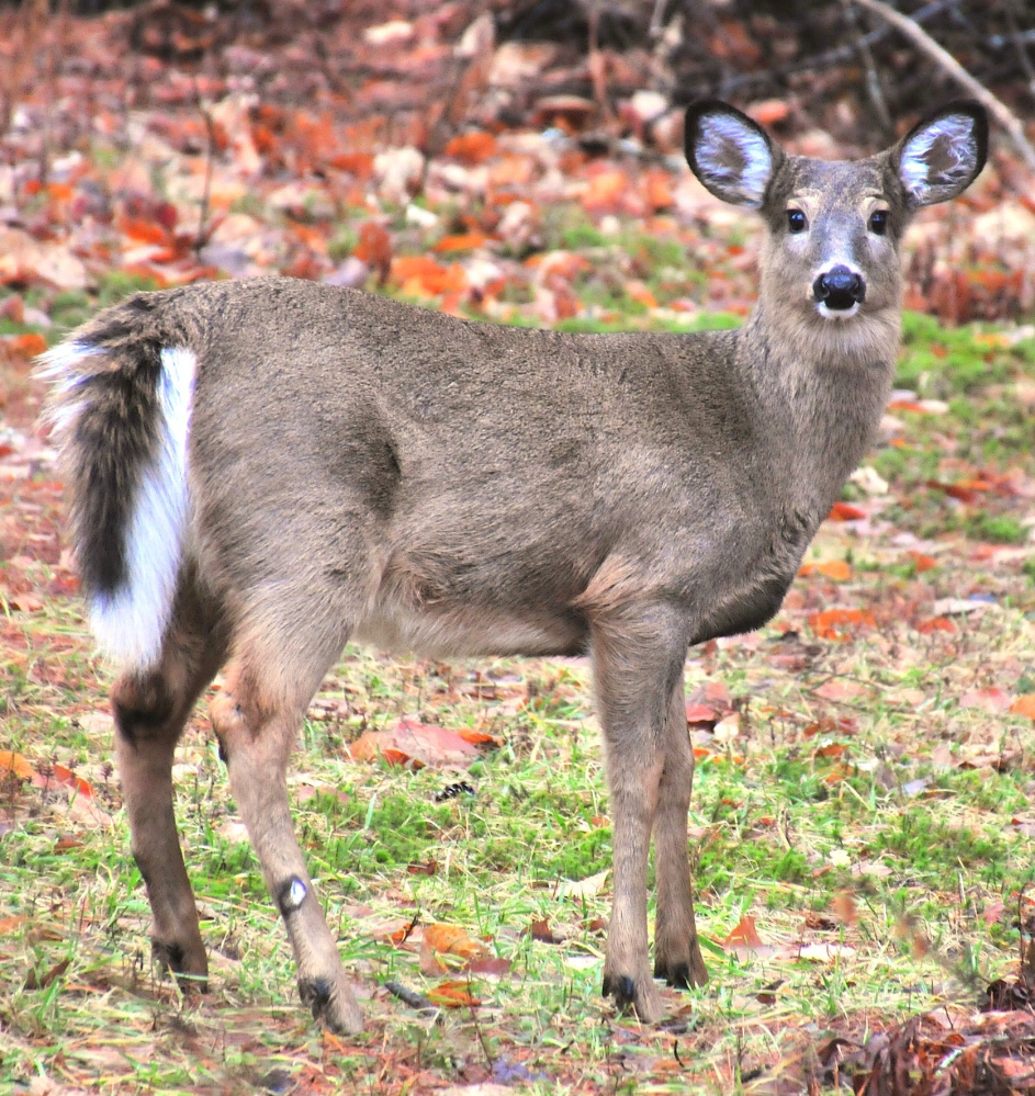 Hunting season might be over, but one can't fault this deer for taking no chances by lingering near Erik Bartlett's Casco home where it's safe and welcome and has plenty to feed upon.