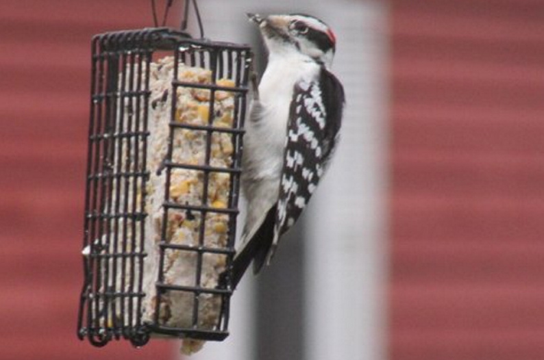 Sure beats pecking a tree for insects, although when Bob Keithley hung a suet feeder in his Saco yard, he probably wasn't expecting a hairy woodpecker.
