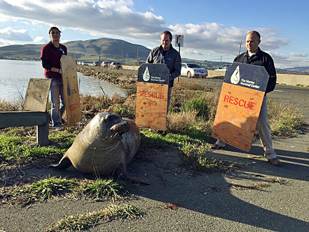 In this photo provided by the California Highway Patrol, wildlife experts from the Marine Mammal Center in Sausalito attempt to corral an elephant seal that repeatedly tried to cross a highway, slowing traffic in Sonoma, California. CHP spokesman Officer Andrew Barclay says callers first reported the 900-pound mammal was trying to climb the divider wall of Highway 37 near Sears Point in Sonoma.