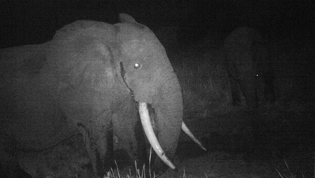 The forest elephant, which has straighter tusks than its cousins and more rounded ears and head, is under intense poaching pressure for its ivory. Fauna & Flora International via AP