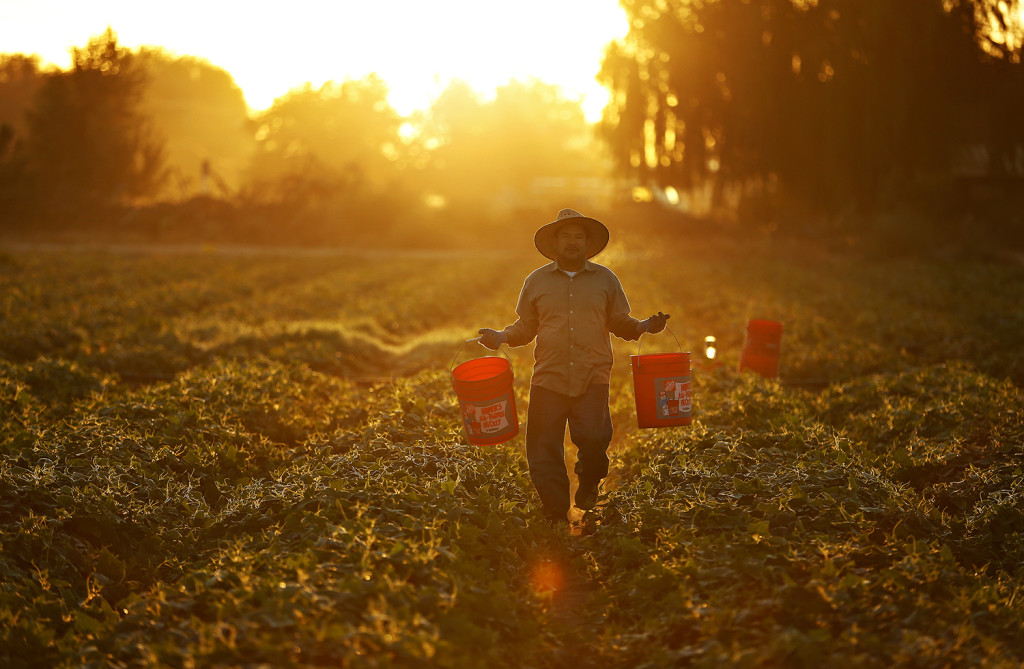 A man picks cucumbers as the sun rises on farmland near Modesto, Calif. The Associated Press