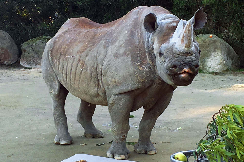A black rhinoceros called Elly helped preserve her species by giving birth to 14 calves at the San Francisco Zoo, where she has lived since 1974.