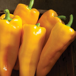 The Escamillo sweet pepper is one of two All-America Selections winners this year for Johnny's Selected Seeds in Winslow.