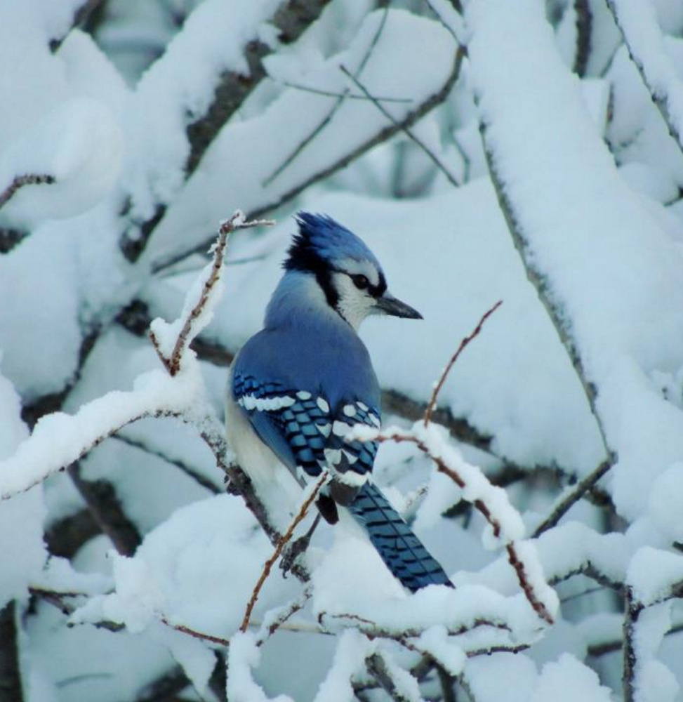 Nothing like the snow in Kelly Mull's yard in Scarborough to make this young blue jay stand out as it takes a break from foraging for seeds.