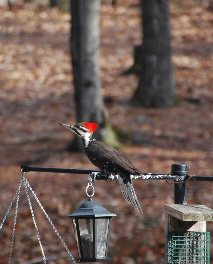 David and Sandy Cleveland say this pileated woodpecker is a frequent visitor in their Raymond yard, and has been getting closer and closer to their house.