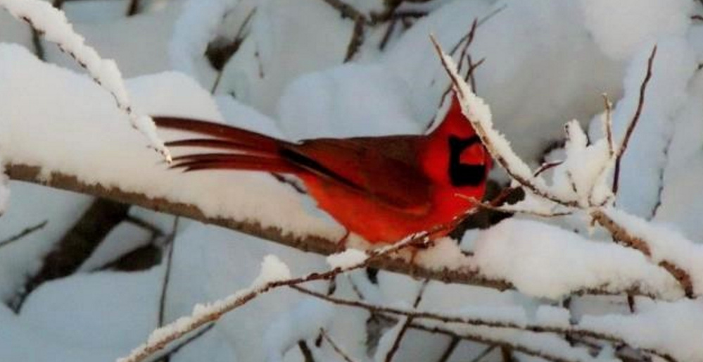 Could be prospective nestmates in Kelly Mull's Scarborough yard, the bright red male cardinal and the paler female that seem to be eying each other as romantic interests. One thing for sure: They both are beautiful in the freshly fallen snow.