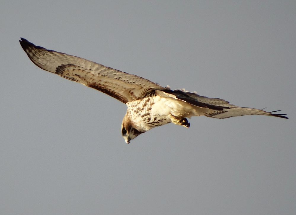 The red-tailed hawk hovers with minimal wing-flapping because of the strong southerly wind coming up the York Bluffs on Nubble Road, where Denise Johnson of Cape Neddick was looking up.