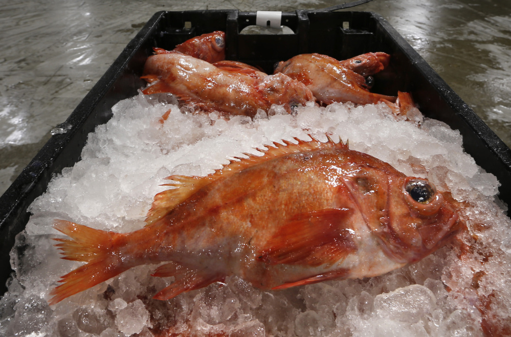 Redfish are displayed for sale at the Portland Fish Exchange. Landings of redfish, spiny dogfish and scup have risen sharply from a decade ago as cod stocks have declined.
