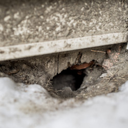 Signs of rodent activity, such as this hole in the foundation of an apartment building, litter Libbytown. Research supports Libbytown residents' observations that taking away underbrush from alongside I-295 has driven rats into the Portland neighborhood.