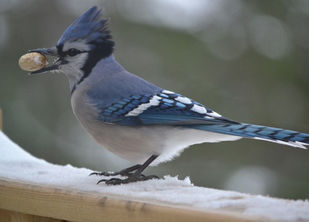 Lee Ann Kinens of New Limerick snapped this shot of a blue jay getting ready to enjoy a snack.
