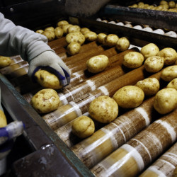 Victor Melgar sorts potatoes before they are packaged at Green Thumb Farms.