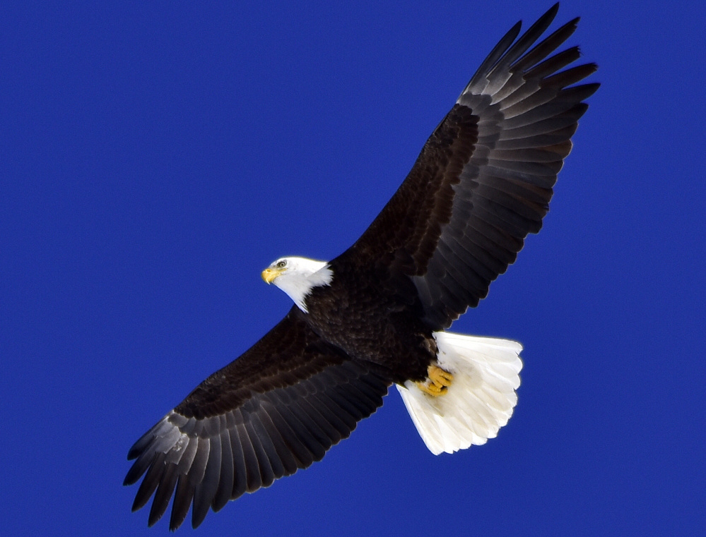 This eagle was cruising above a field in Casco, perhaps looking for a meal, when Francis Baldwin got this photo.