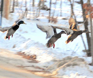 Moments after watching a flock of about 20 mallards waddle across a road, Erik Bartlett of Casco caught a few of them in flight.