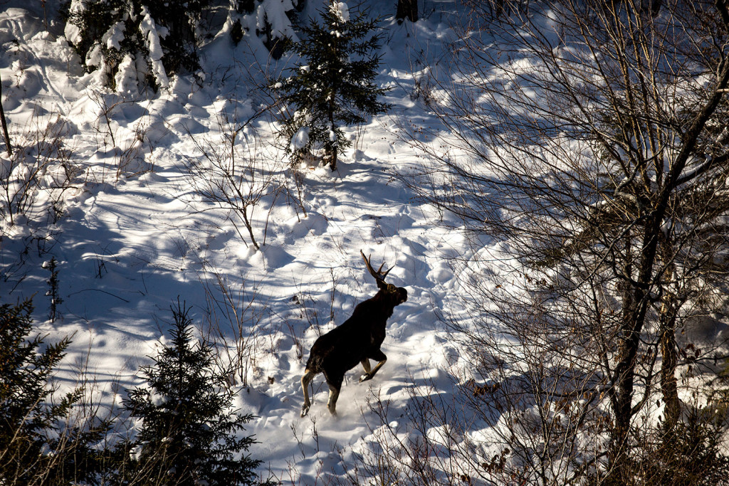 A young bull moose with half of its antlers shed runs through a clearing in the woods north of Moosehead Lake. The moose was seen on a moose collaring expedition with biologist Lee Kanter.
