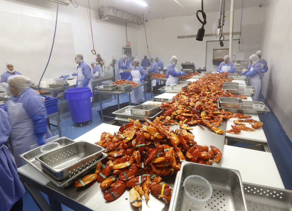 Workers process cooked Maine lobster at Cape Seafood, owned by Cape Elizabeth native Luke Holden. If lobster season begins early this year, processors will have to add staff quickly.