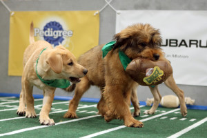 The competition can be fierce during the Puppy Bowl.