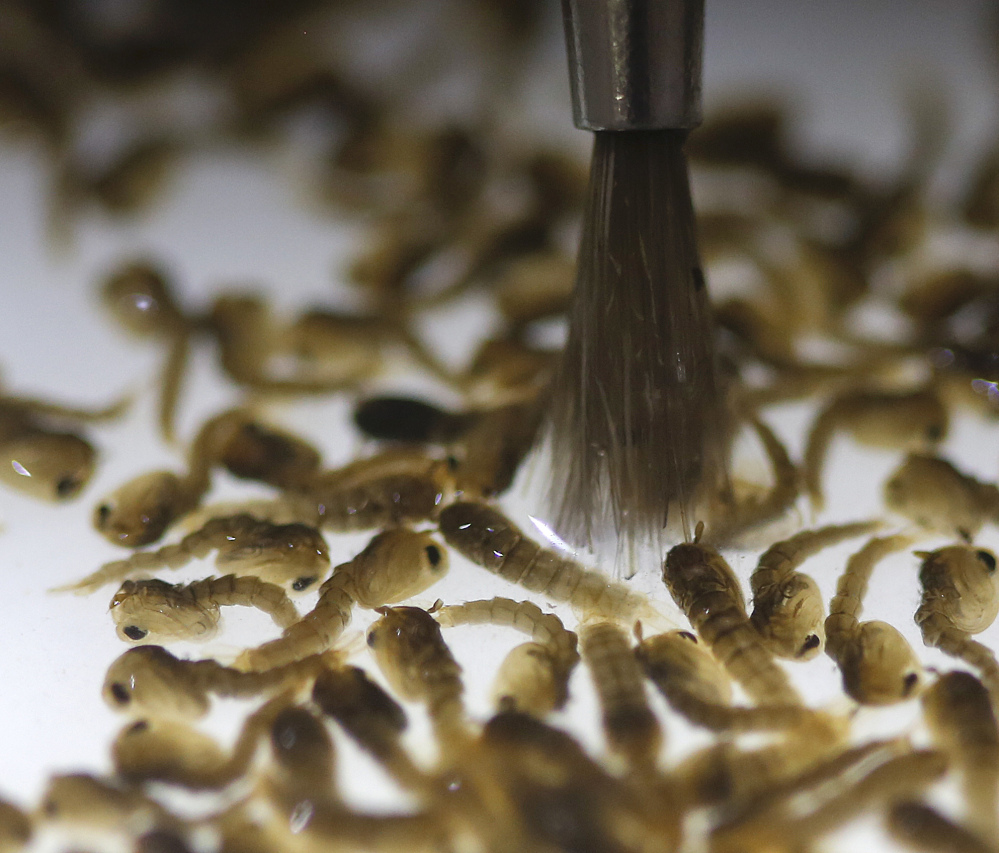 These pupae can grow into mosquitoes that spread the Zika virus. They present a challenge in North America because they live and breed in places that are often difficult for humans to identify or access.