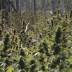 Nearly 3,000 marijuana plants were found on remote plots in Washington County in 2009, leading to charges against three men.