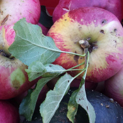 Local Wolf River apples can add to a Maine wedding.