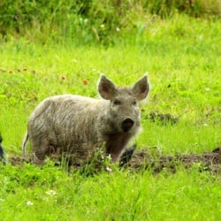 Wild boars don't discriminate when it comes to choosing what to eat, and their voracious appetites make them a threat not only to wildlife and the environment, but also to humans.