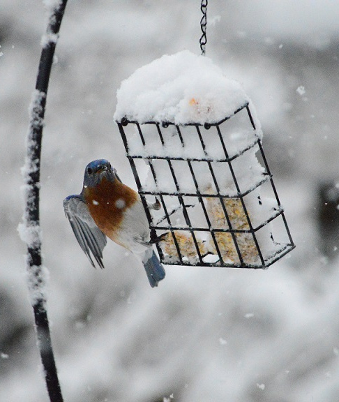 The suet's in short supply in Bev Raymond's Kennebunk yard, testing the skills of a hungry bluebird during last week's snowstorm.