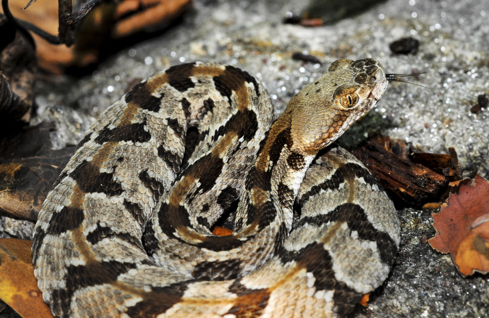 A timber rattlesnake rests on a rock in Massachusetts. Plans to start a colony of rattlesnakes on an off-limits island in the state's largest drinking water supply have come under fire.