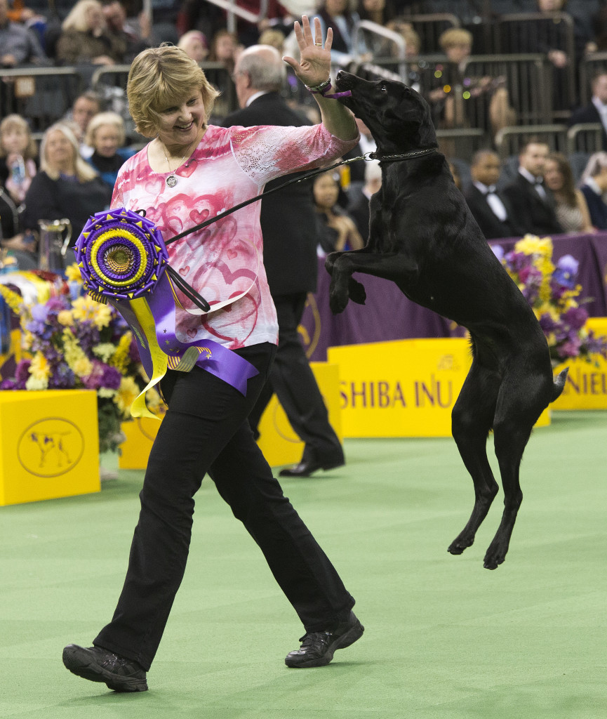 Heart, a Labrador, and her owner/handler, Linday Brennan, of Columbia, N.J., walk off the main ring after picking up her trophy for winning the obedience portion of the 140th Westminster Kennel Club dog show Monday. (AP Photo/Mary Altaffer)