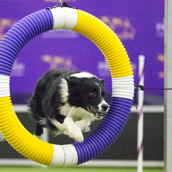 Notch, a 7-year-old border collie, clears an obstacle at the Westminster show. Border collies are the most prevalent of the 76 breeds entered in the agility portion of the show, and they're agility powerhouses: driven, flexible and fast.