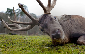 JAN. 31: A stag looks straight into the camera at a wildlife park in Hanau, Germany.