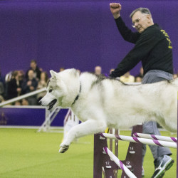 Sunny, a Siberian Huskie and his handler Alan Davis, of Pen Argyl, Pa., compete in the agility portion of the 140th Westminster Kennel Club Dog Show, on Saturday in New York. The Associated Press