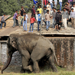 People watch from a rooftop as a wild elephant runs after it was tranquilized in Siliguri, India, February 10, 2016. According to local media reports, the elephant went on rampage in Siliguri after entering from a nearby Baikunthapur forest on Wednesday. REUTERS/Stringer EDITORIAL USE ONLY. NO RESALES. NO ARCHIVE - RTX26CMV