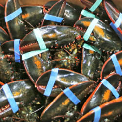 Live lobsters are packed for overseas shipment at the Maine Lobster Outlet in York. Lobsters are a Christmas tradition in several European countries, where supermarkets rely on the crustaceans to draw shoppers around the holidays.