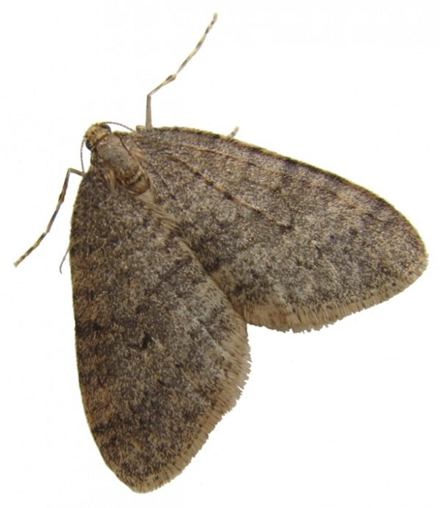 While winter moths are visible in early winter  their damage is done in the spring, when the eggs they lay on tree trunks hatch.