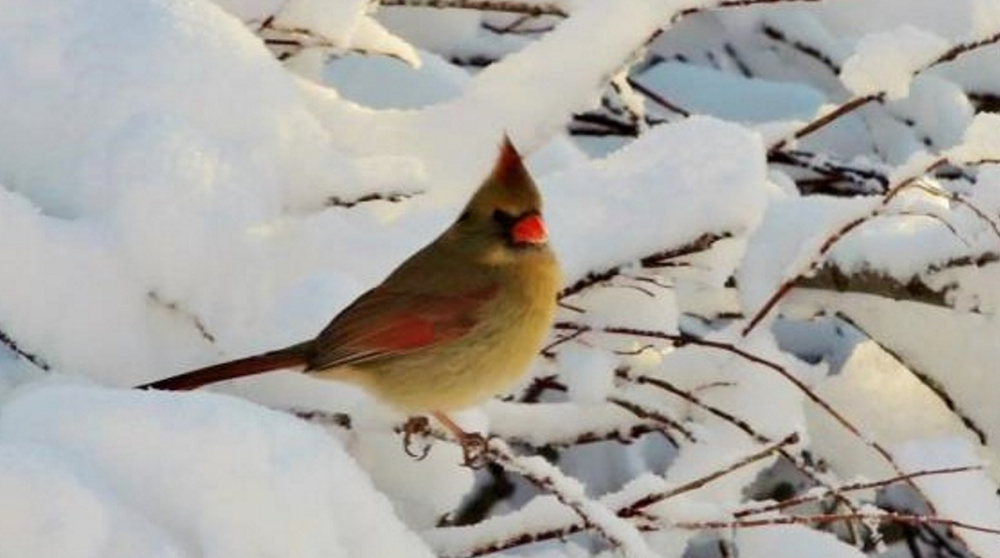 Such a pretty female cardinal won't be lonely at Kelly Mull's Scarborough yard.