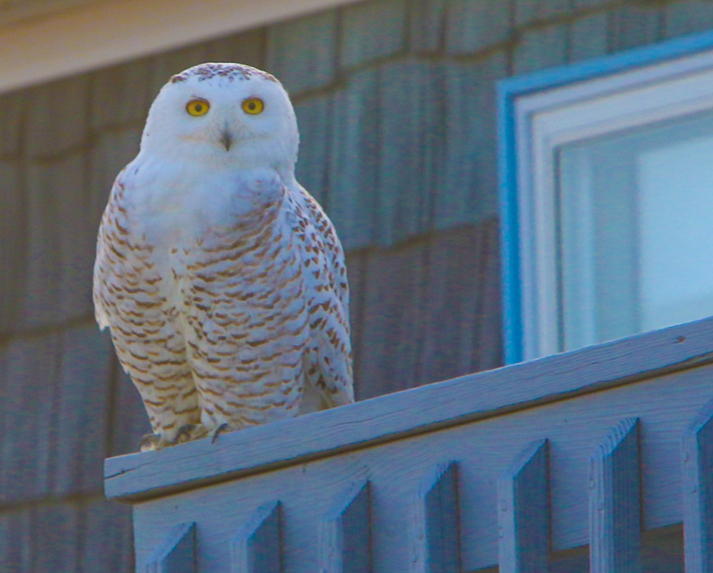 Biddeford Pool attracts snowy owls, and this one finds a home near Jack McDonald's digs at 33 Mile Stretch fine for scouting prey.