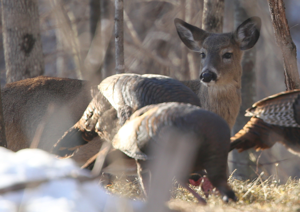 Sorry, hunters, deer and turkeys are out of season and hence they can fearlessly mingle together in Weld, where Jim Knox got the shot of a lifetime. A camera shot, that is.