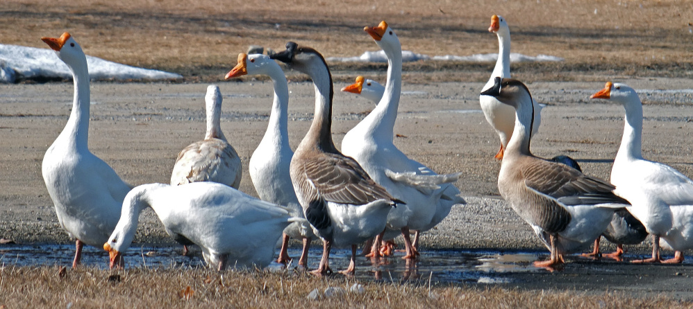 Like planes awaiting takeoff, geese gather near Limerick Airport where Peter Abate was walking. Just a cautionary note, geese: Don't fly near any airplane engines. Would be bad for all involved.