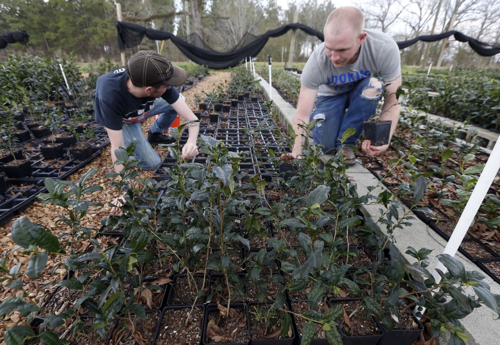 Joshua Watson, left, and Chase White gather tea plants onto racks at The Great Mississippi Tea Co. near Brookhaven.