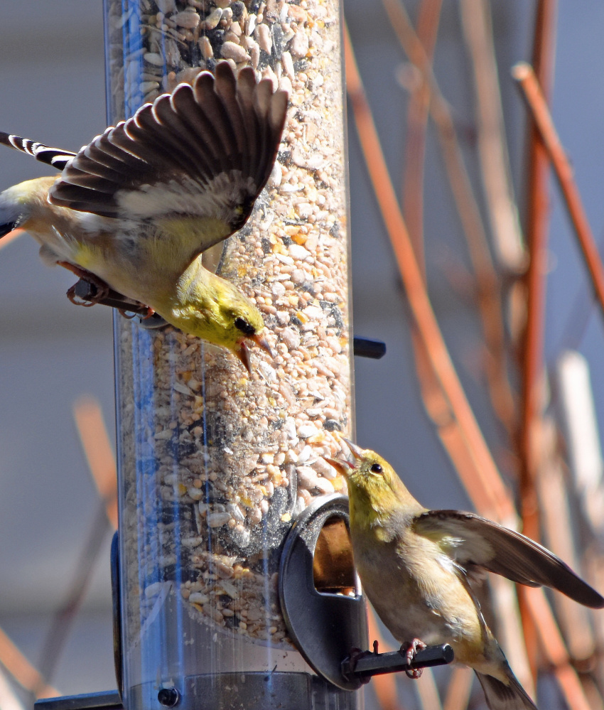 Gluttony and greed are two of the seven deadly sins, and the American goldfinch on the perch seems to practicing them, warding off a colleague from a filled-to-the-brim feeder in Stacy Morris' yard in Cumberland.
