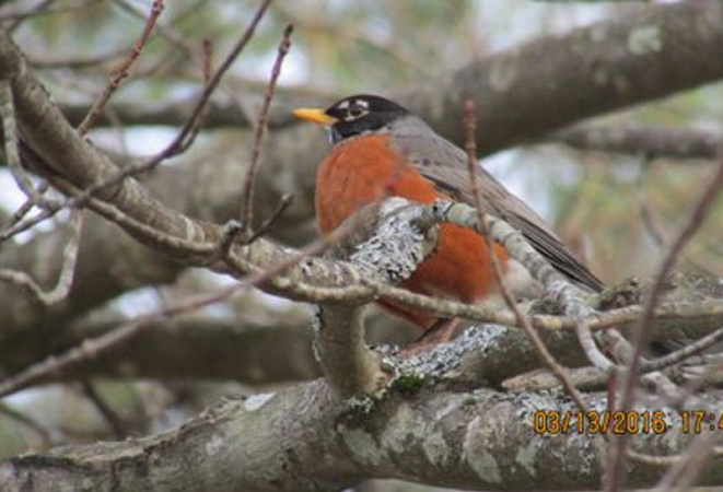 The red, red robin has already come bob, bob, bobbin' into Bob Keithley's Saco yard, a sure sign of warming temps and an early spring that will bring all kinds of songbirds back.