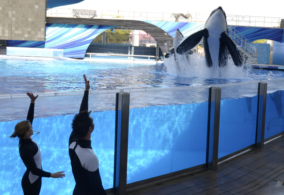 Orcas Tilikum, right, and Trua will remain in their Orlando tanks, but won't be bred as SeaWorld is phasing out its killer whale identity following years of controversy.