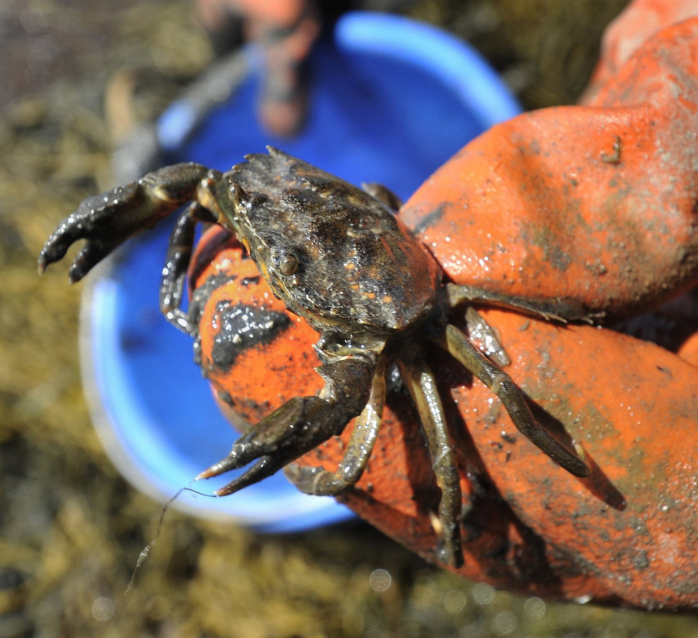 This green crab came out of Freeport's Harraseeket River in 2012. Warm waters that year led to an explosion in their numbers, and they devoured many clams along the coast.