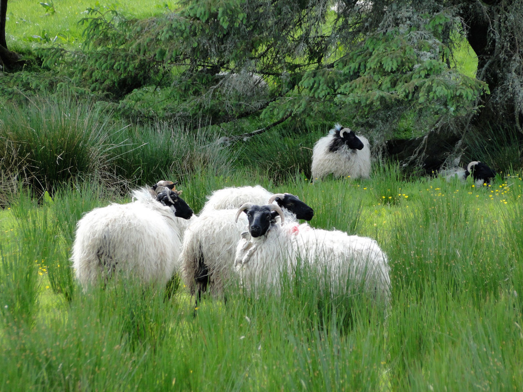 Sheep grazing in Connemara, a region of County Galway, Ireland.