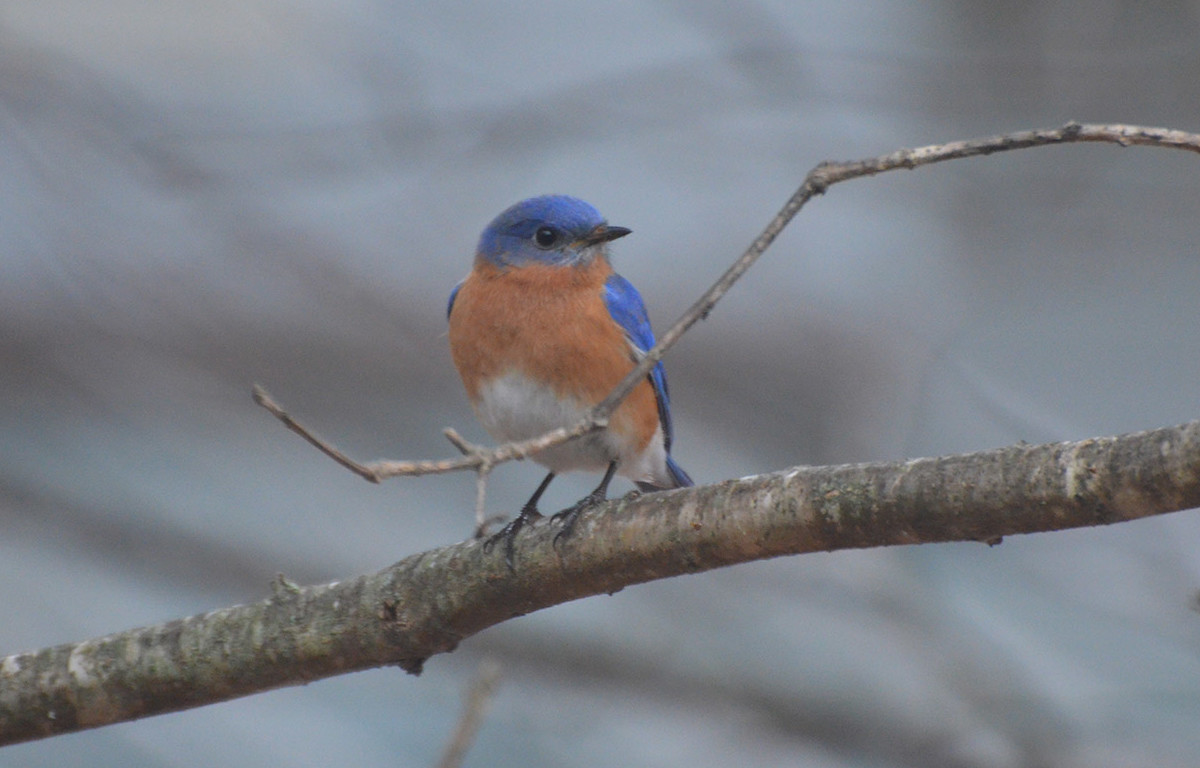 It's easy to see why the bluebird has long been a symbol of all that's right in this world, and always a welcomed visitor in Judy Gray's Old Orchard Beach yard.